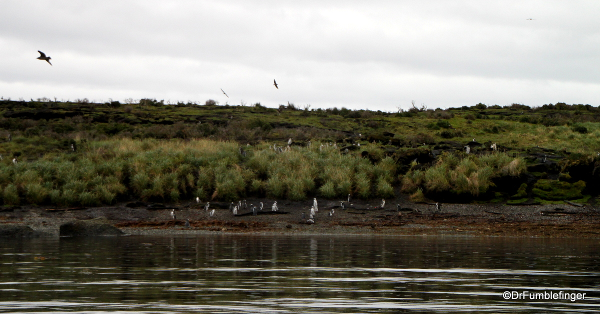 Tucker's Islets.  Magellanic penguin