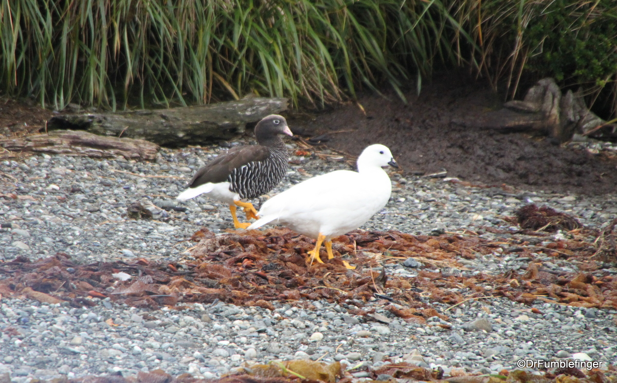 Tucker's Islets.  Kelp Geese