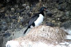 Tucker's Islets.  Magellanic Cormorant