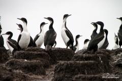 Tucker's Islets. Cormorant