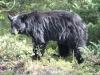 Black Bear, Banff National Park