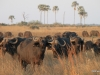 Buffalo herd, Sandibe concession, Botswana