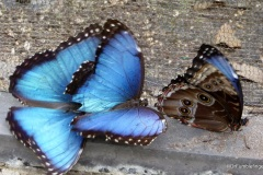 Morpho Butterfly, Butterfly World, Florida