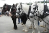 Draft horses pulling wagon