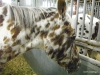 Leopard-patterned horse