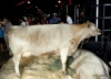 Prize cattle exhibit