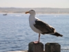 Seagull, Waterfront, Cannery Row