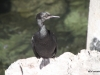 Cormorant, Waterfront, Cannery Row