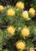 Protea, Cape of Good Hope Nature Reserve