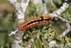 Catepillar, Cape Point