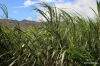 Sugar cane field, Central Maui