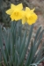 Daffodils growing at Monticello