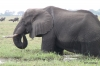 Elephant grazing in Chobe River