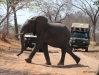Elephant crossing road