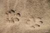 Lion pawprints