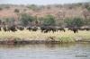 Buffalo, Chobe River
