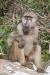 Old baboon