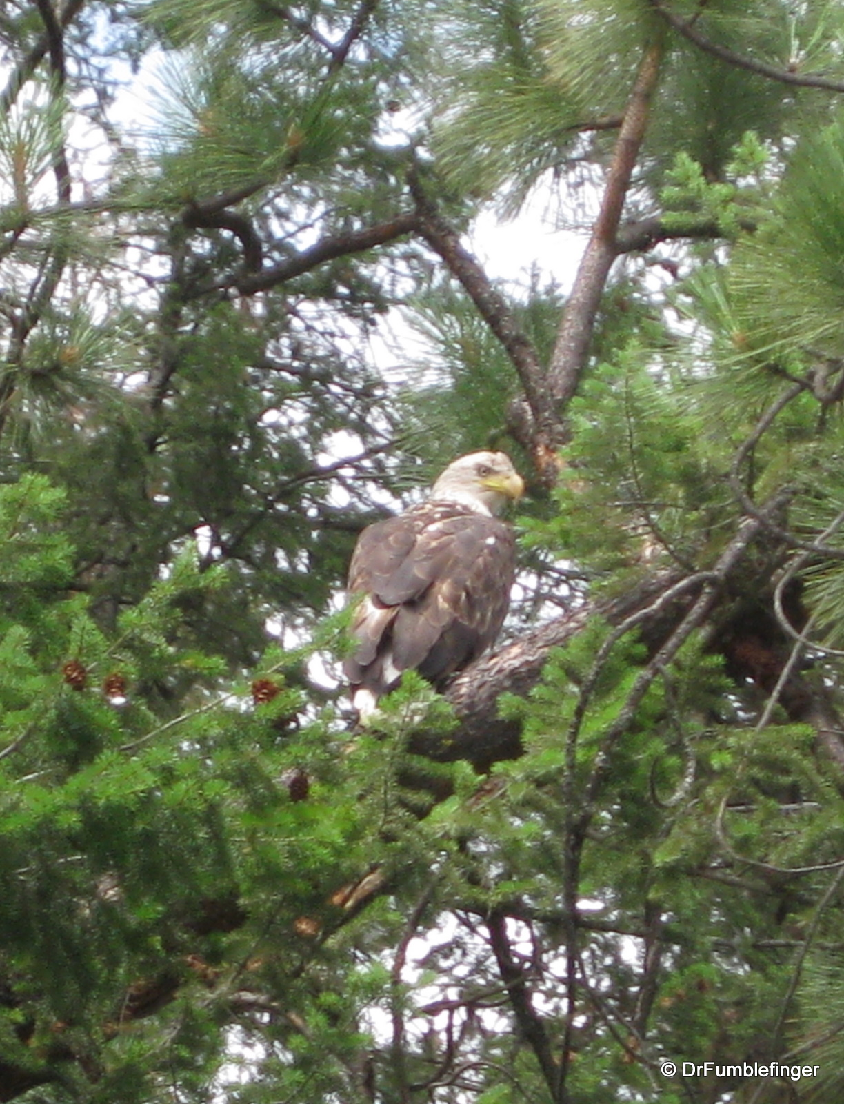 Bald Eagle, Clark Fork River