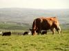 Cattle grazing in fields near Cliffs of Moher
