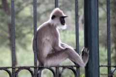 tufted grey langur monkey, Sri Lanka