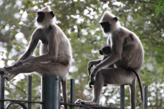 tufted grey langur monkeys, Sri Lanka
