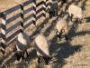 Sheep near the St. Eugene Resort