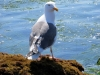 Seagull at Crystal Cove State Park