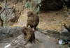 Dambulla -- Toque monkeys