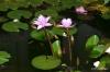 Dambulla -- Water lilies