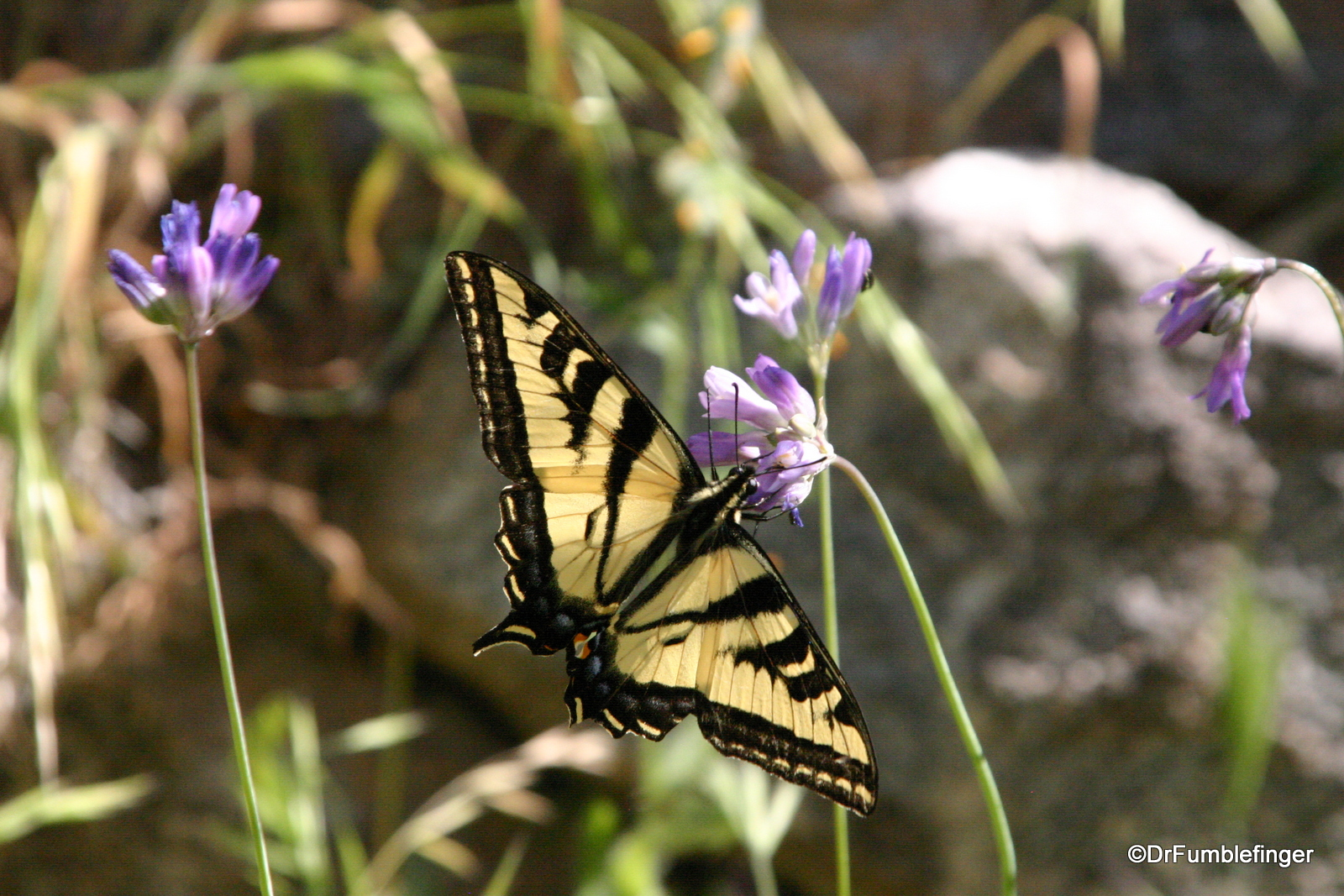 Butterflies and Wildflowers, Tahquitz Canyon, California