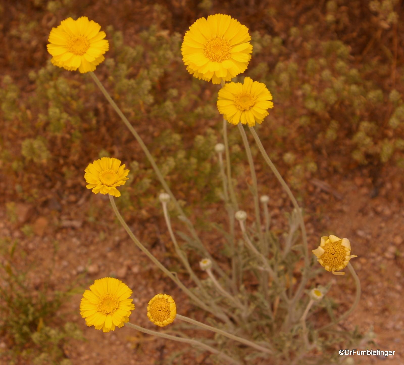 Wildflowers, Tucson, Arizona