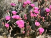 Cacti in bloom, Joshua Tree National Park, California