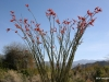 Ocotillo in bloom, Palm Desert, California