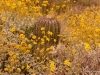 Wildflowers, Tucson, Arizona
