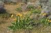Balsam Arrowroot, Dry Falls State Park
