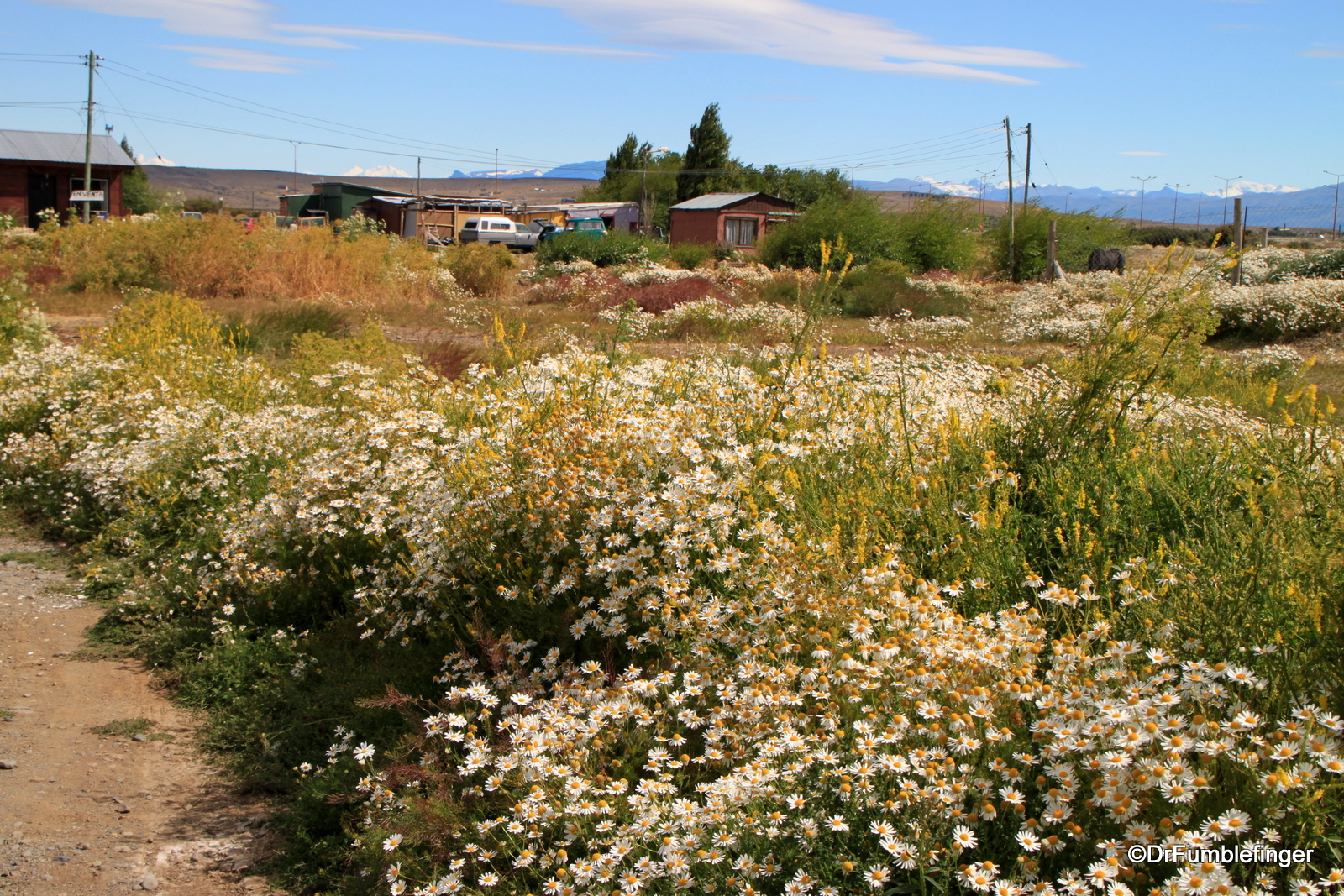Wildflowers in El Calafate