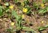 Yellow Glacier Lilies
