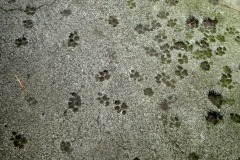 Pawprints in the cement, Ernest Hemingway Home, Key West