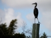 Heron near Everglades City