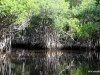 Mangroves near Everglades City