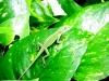 Lizard, Hapuna Beach Prince Resort