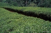 Hill Country -- Tea Plantation