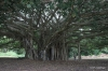 Banyon Tree, Laupahoehoe Harbor
