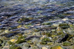 Salmon run, Hope, Alaska