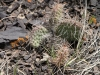 Cactus, floor of Horseshoe Canyon