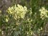 Wildflowers, Horseshoe Canyon