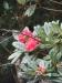 Horton Plains -- rhododendron