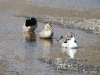 Ducks in Oxara River
