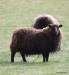 Black sheep, Thingvellir National Park