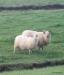 Sheep close to Gulfoss waterfall